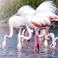 Fotografía de unas aves de especie flamencos que beben agua en un rio. La imagen hace referencia al auge del turismo de aves o aviturismo en Andalucía
